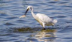Egret Fishing-9