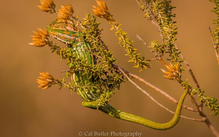 Chameleon-1