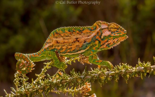 Chameleon-4