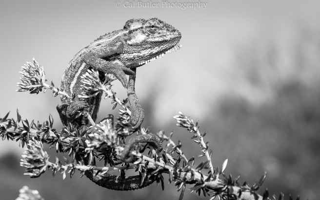 Chameleon-5