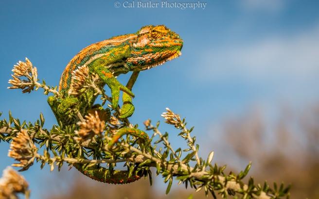 Chameleon-6