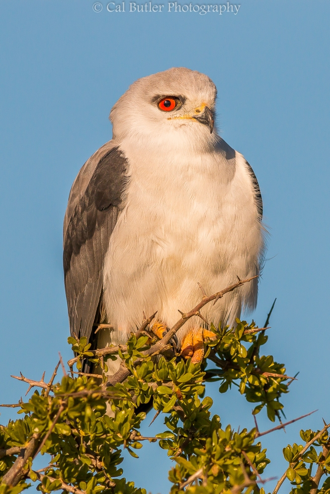 Black Shouldered Kite-1