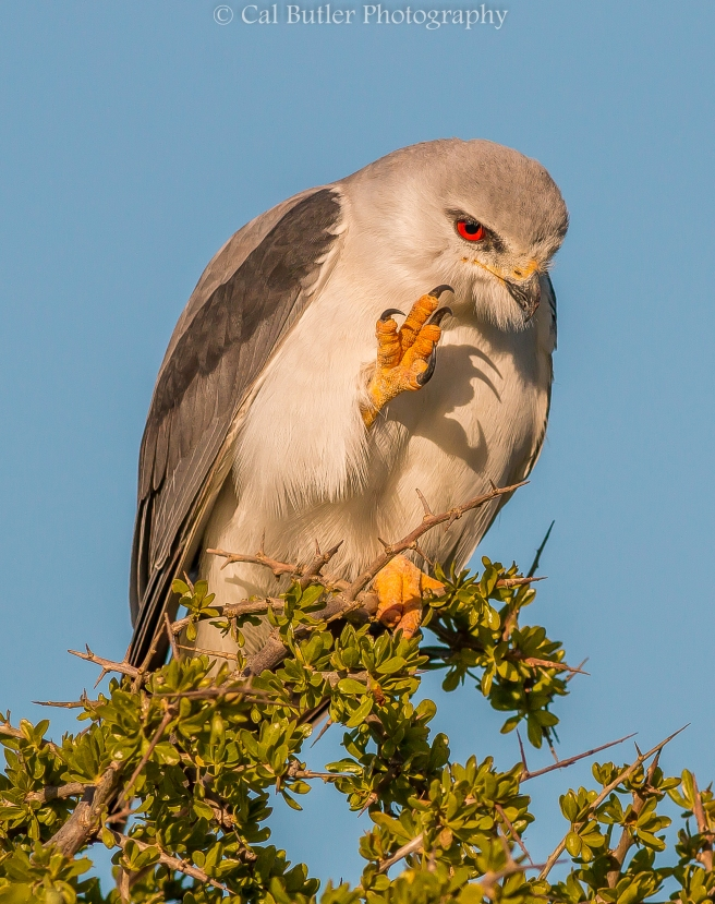 Black Shouldered Kite-2