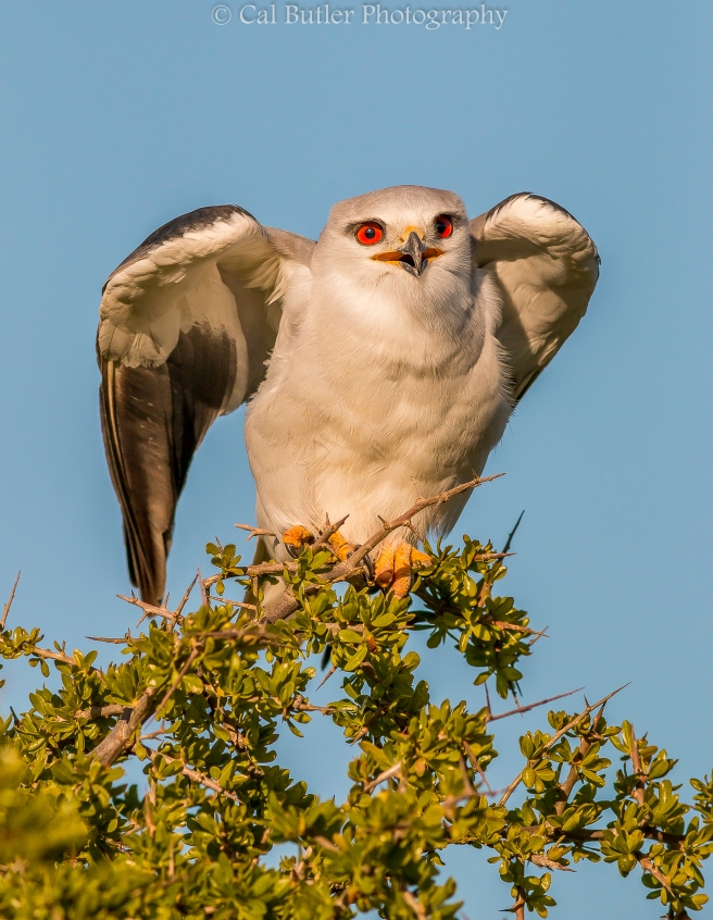 Black Shouldered Kite-3