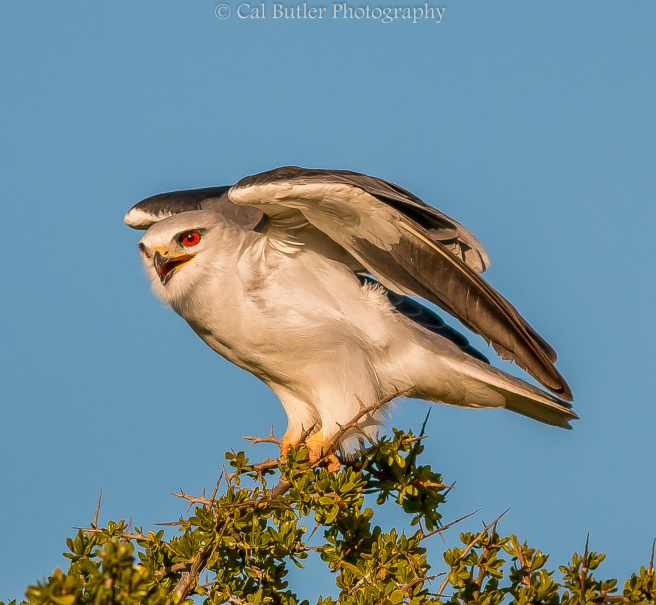 Black Shouldered Kite-4