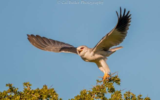 Black Shouldered Kite-5