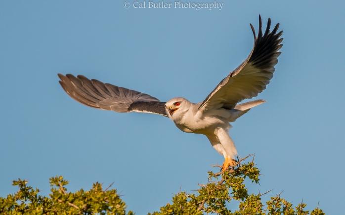 Black Shouldered Kite-5