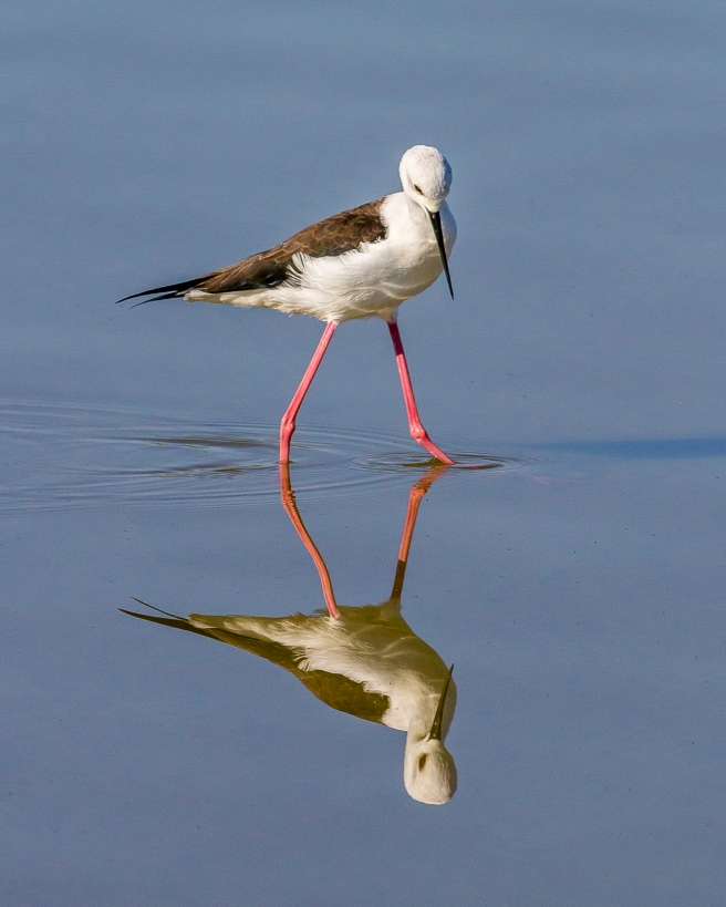 Black Winged Stilt-1