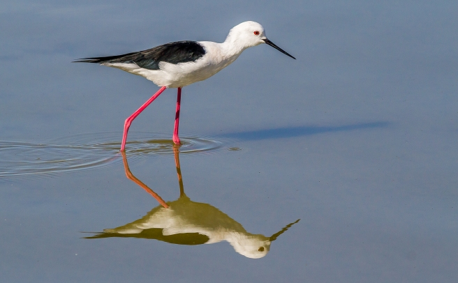 Black Winged Stilt-2
