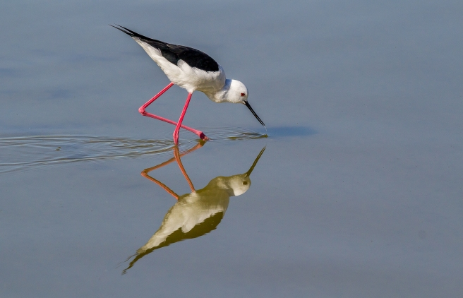Black Winged Stilt-3