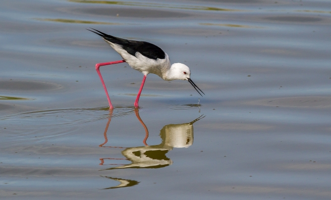 Black Winged Stilt-4