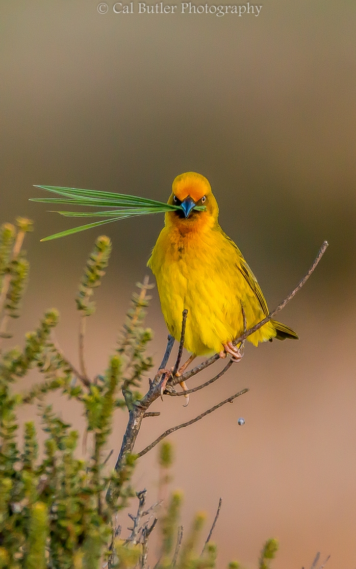 Cape Weaver with grass