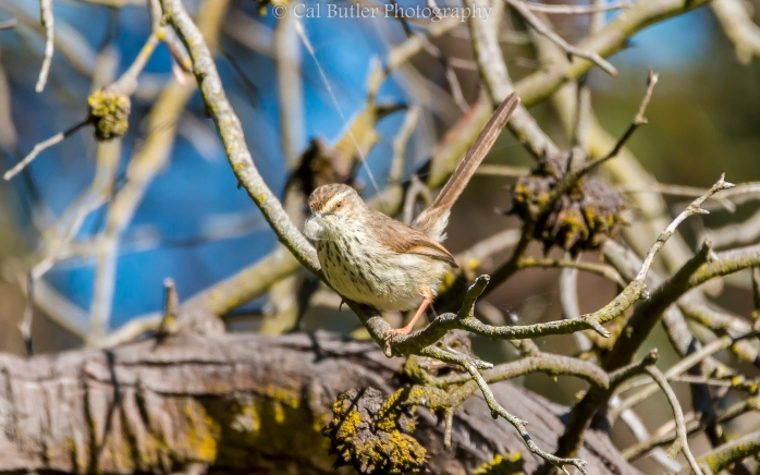 Karoo Prinia with nesting material