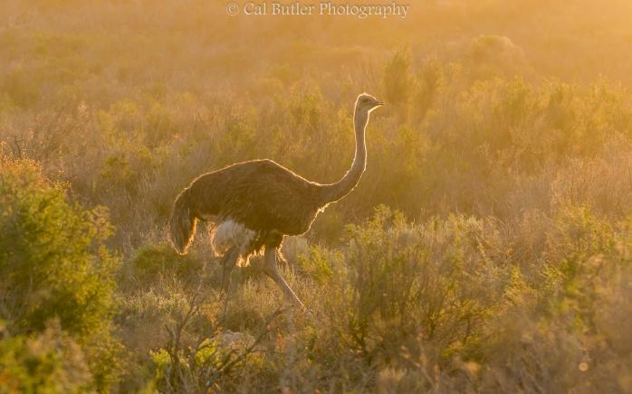 Ostrich in golden light