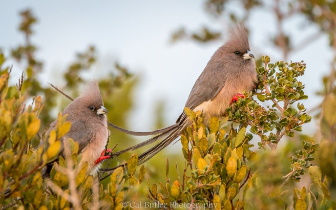 White Backed Mousebirds