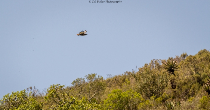 Jackal Buzzard flying over the cliff