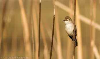 Lesser SwampWarbler
