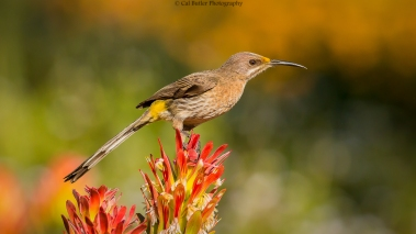 cape-sugarbird-2