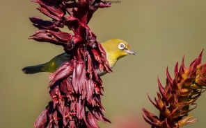 cape-white-eye