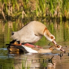 mating-egyption-geese-4