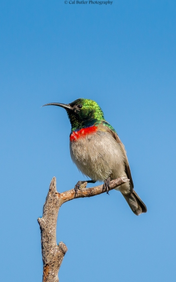 southern-double-collared-sunbird