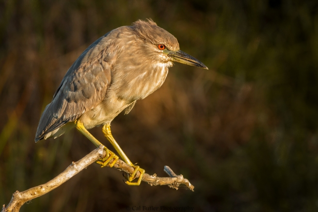 Night Heron at dawn