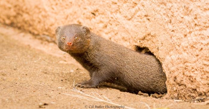 dwarf-mongoose-2