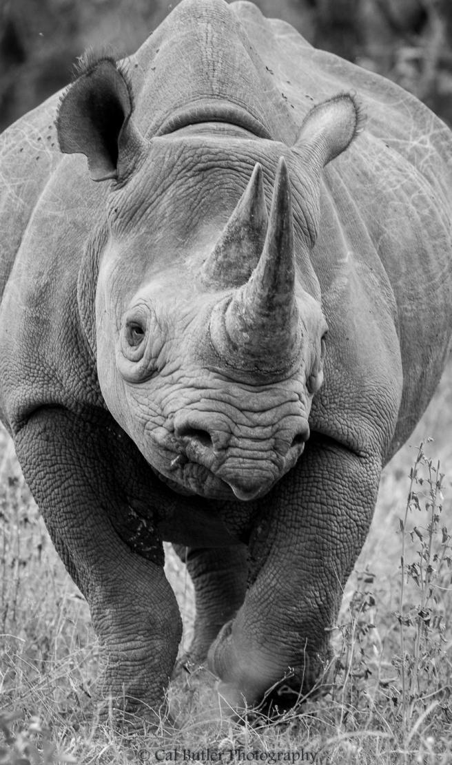 black-rhino-1