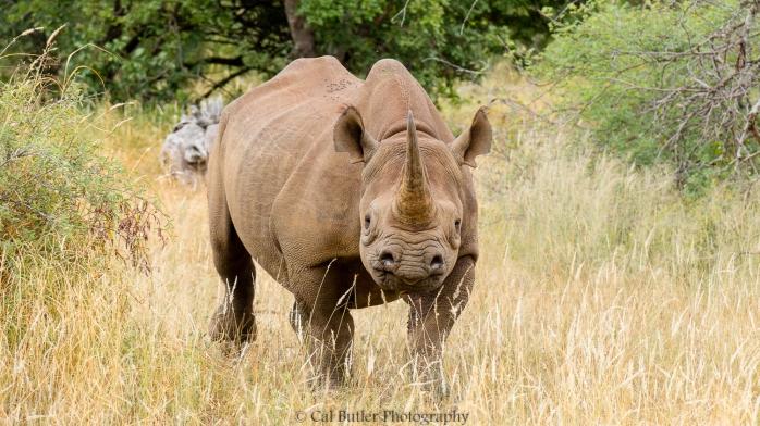 black-rhino-3