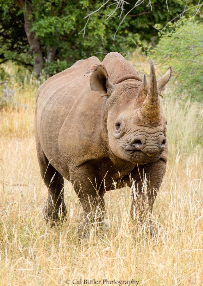 black-rhino-4
