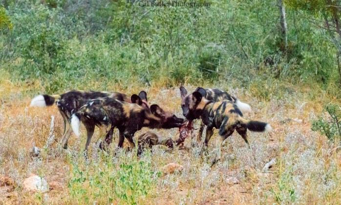 wild-dogs-4