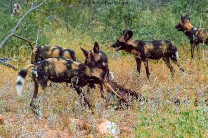wild-dogs-5
