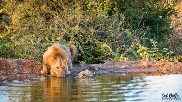lion-2.jpg.jpeg