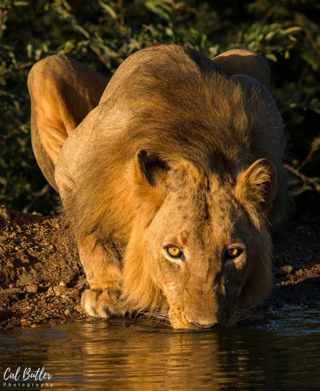 lion-3.jpg.jpeg