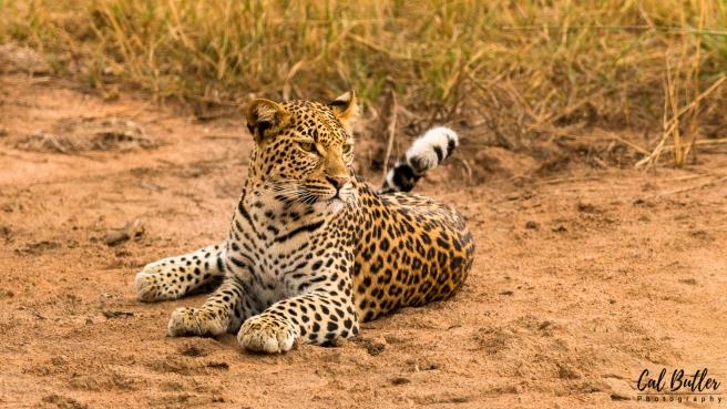 Nandzana Leopard-1
