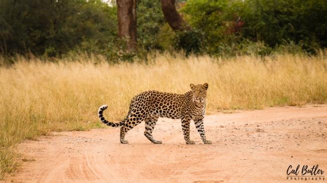 Nandzana Leopard-3