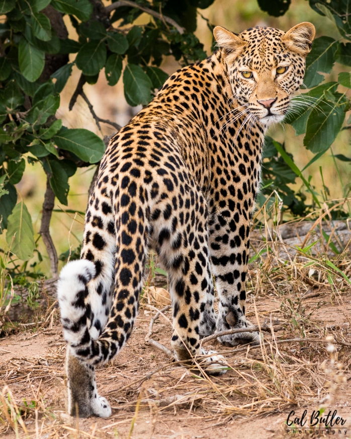 Nandzana Leopard