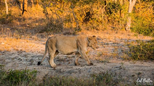 Lions Feeding-1