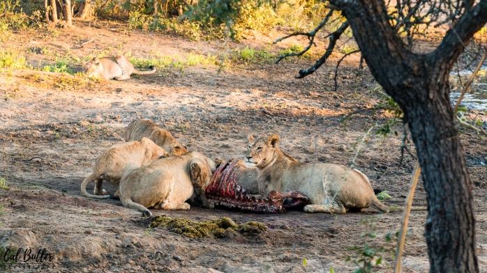 Lions Feeding-2