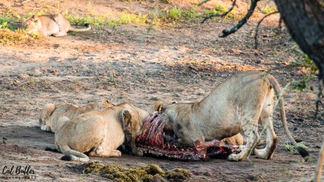 Lions Feeding-3