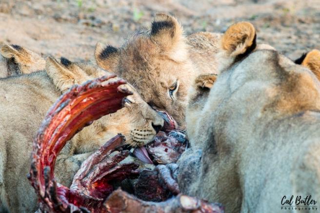 Lions Feeding-5