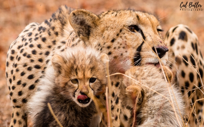Cheetah cubs-3