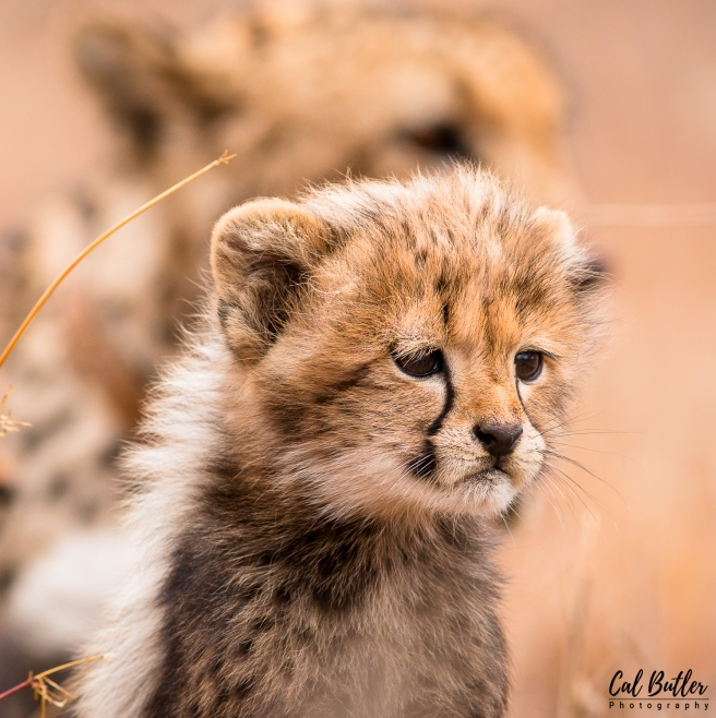 Cheetah cubs-6