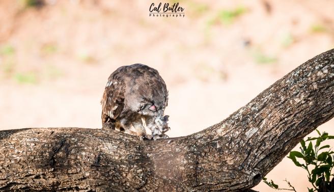 Verraux's Eagle Owl-1.jpg