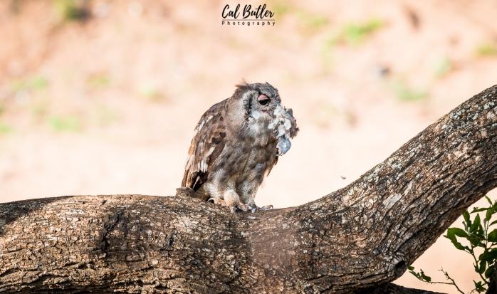 Verraux's Eagle Owl-2.jpg