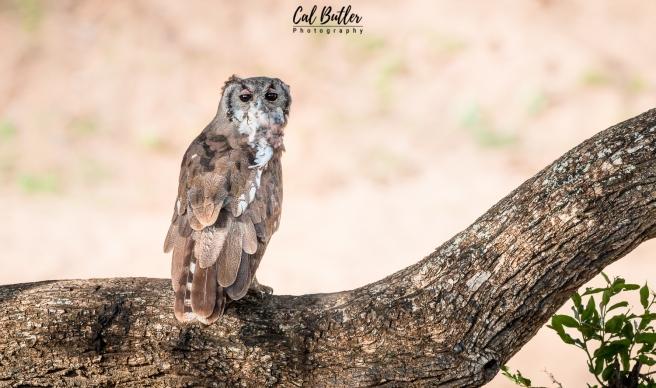 Verraux's Eagle Owl-4