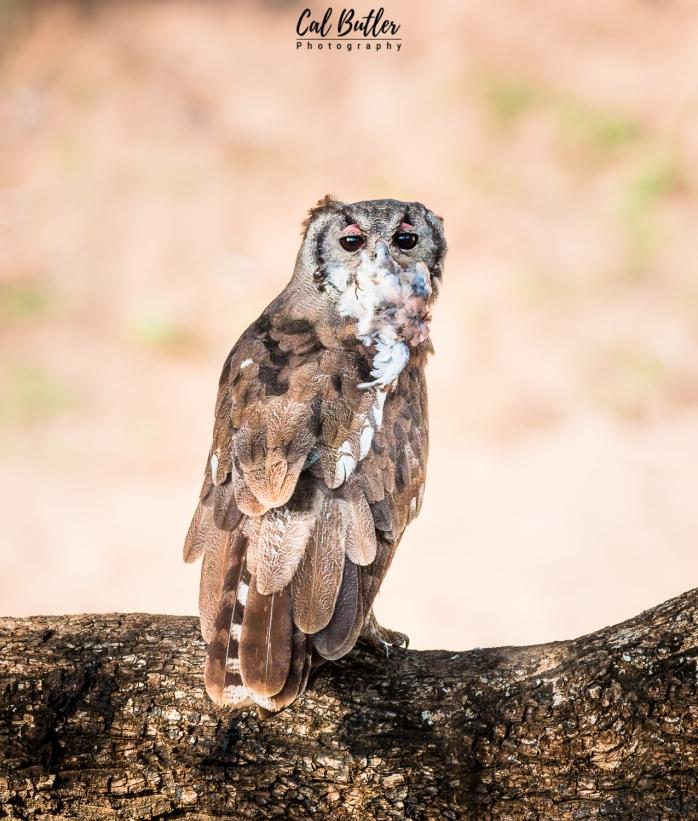 Verraux's Eagle Owl-5.jpg