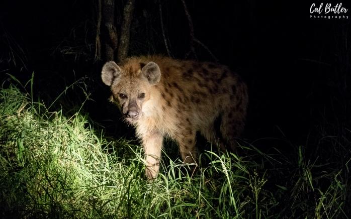 Hyena-1