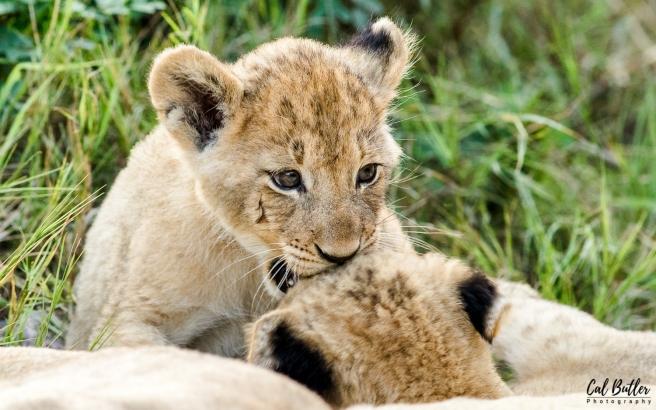 Othawa Cubs Ferature-6