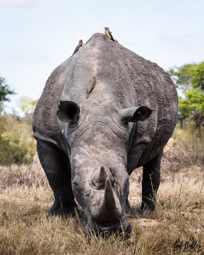 Rhino-4